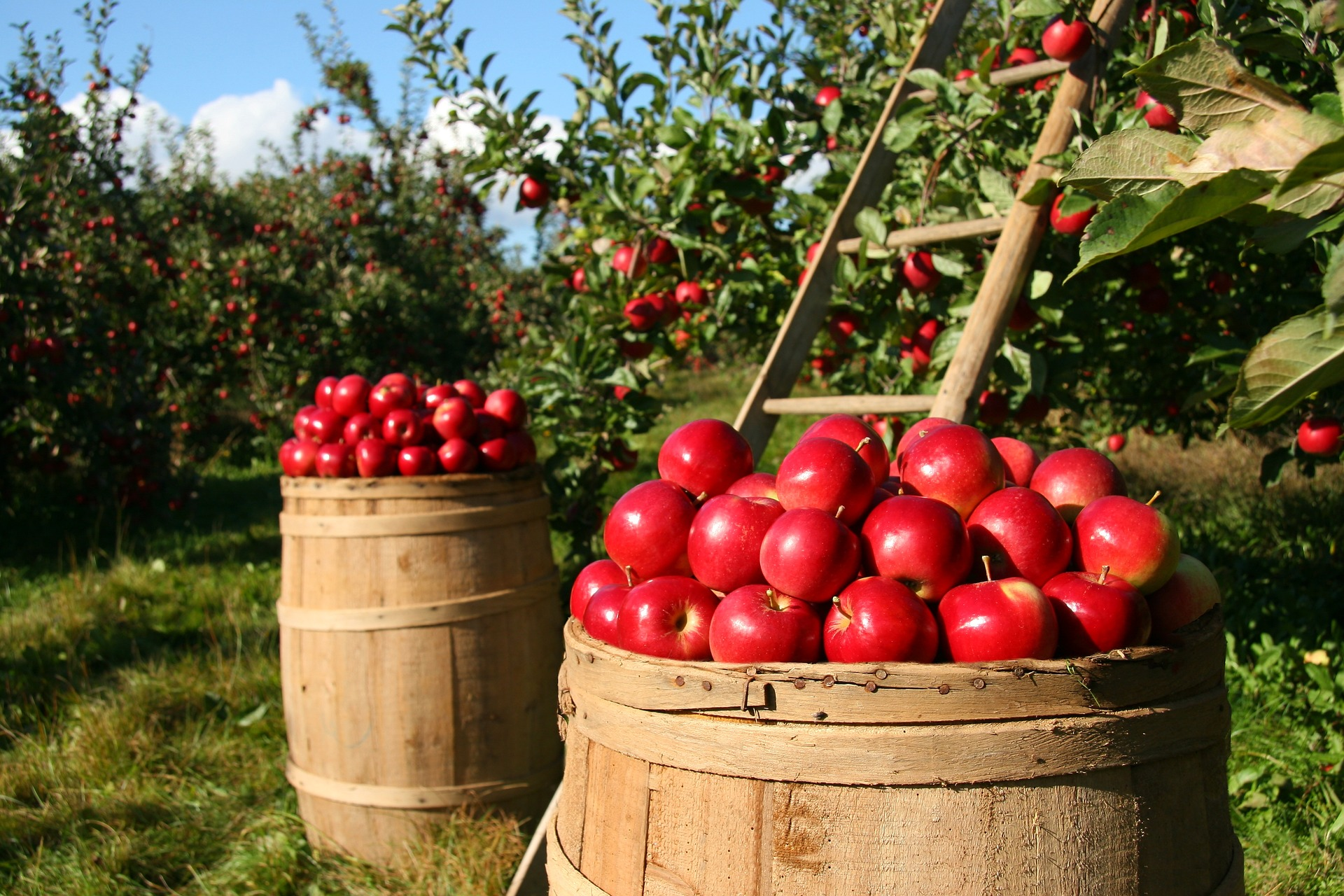 picture of an apple orchard